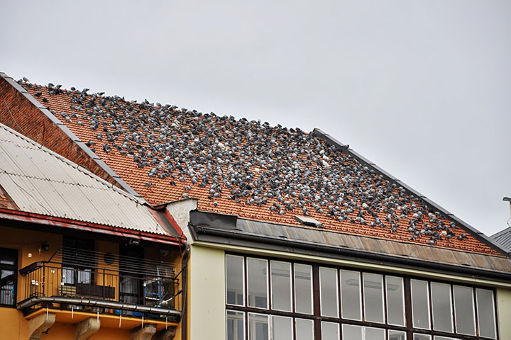 A2B Pest Control are able to install spikes to deter birds from roofs in Anglesey.